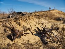 Dead stumps and grass on the sand hill. Dry grass and remains of spruces on the sand landslip under the blue sky Royalty Free Stock Images