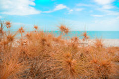 Dry grass with sand beach. Sea view Stock Images