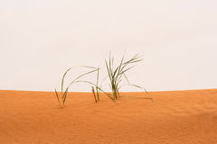 Dry grass on the sand Royalty Free Stock Photos