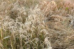 Dry grass with the seeds. Close up of dry grass with the seeds on the meadow stock photography