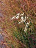 Dry Grass Seeds Royalty Free Stock Photography