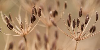 Dry grass with seeds. Dry autumn grass with elongated, oval seeds on the umbellate inflorescence royalty free stock photo