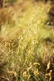 Dry grass with selective focus, background, vertical.  royalty free stock photos