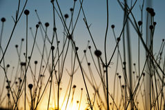 Dry grass silhouettes in sunset Royalty Free Stock Image
