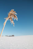 Dry grass and snow. Royalty Free Stock Photo