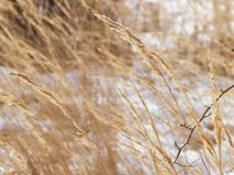 Dry grass on the snow Stock Photography