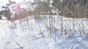 Dry grass in the snow field, winter, winter landscape wind stock photo