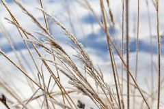 Dry grass in snow on nature Stock Photo