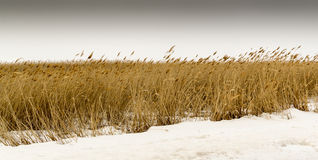 Dry Grass in Snow royalty free stock images