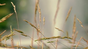 Dry grass spike at autumn meadow. Furry spike grass in morning light stock video