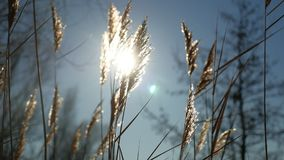 Dry grass spikes swaying in the wind winter marsh snow sunlight nature landscape Royalty Free Stock Photography