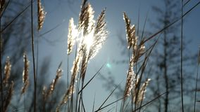Dry grass spikes swaying in the wind winter marsh snow sunlight nature landscape Stock Photos