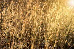 Dry grass summer. Lay Royalty Free Stock Photos