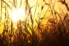 Dry grass and sun. Dry grass silhouette in sun light Royalty Free Stock Photo