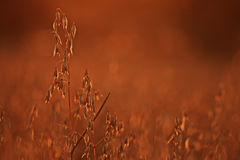 Dry grass at sunset Royalty Free Stock Images