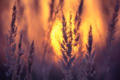 Dry grass at sunset Royalty Free Stock Photos