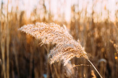 Dry Grass In Sunset Sunlight. Beautiful Wild Plant On Natural Grass Stock Photos