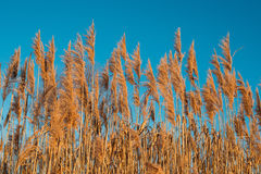 Dry Grass In Sunset Sunlight On Blue Sky Background. Beautiful Wild Plants Stock Image