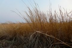Dry grass sway in the wind against the sunset autumn sky stock images