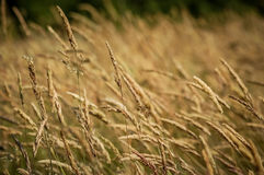 Dry Grass Swaying in Wind backgound Royalty Free Stock Photo
