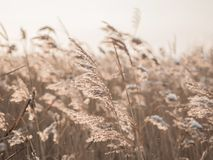 Free Dry Grass Sways In The Wind In The Sun In Winter. Beige Reed. Beautiful Nature Trend Background. Closeup Stock Images - 167465704