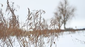 Dry grass sways in the wind in snow landscape winter nature Royalty Free Stock Photo