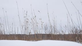 Dry grass sways in the wind snow winter field beautiful landscape nature. Dry grass sways in the wind snow winter field beautiful a landscape nature Royalty Free Stock Image