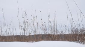 Dry grass sways in the wind snow winter field beautiful landscape nature Royalty Free Stock Photography