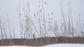 Dry grass sways in the wind snow winter field nature beautiful landscape Stock Photography