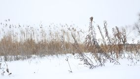 Dry grass sways in the wind in snow winter landscape nature Stock Photo
