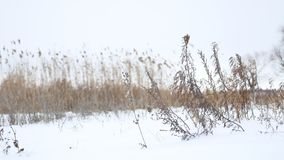 Dry grass sways in the wind in snow winter landscape nature Royalty Free Stock Photo