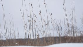 Dry grass sways in the wind snow winter nature field beautiful landscape Royalty Free Stock Photo