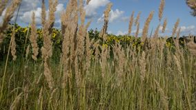Dry grass sways in the wind under a blue sky. Sunflowers stock footage