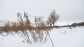 Dry grass sways in the wind in winter snow landscape nature Stock Photo