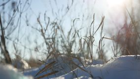 Dry grass sways in the wind winter snow nature landscape. Dry grass sways in wind winter snow nature landscape Stock Photos
