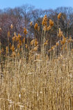 Dry Grass. Tall dry grass in the field with trees and blue sky in the background royalty free stock image