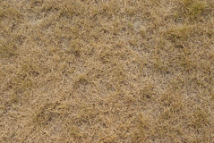 Dry grass texture Royalty Free Stock Image