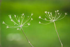 Dry grass umbrellas, on a green background. Royalty Free Stock Image