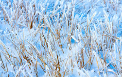 Dry grass under snow Royalty Free Stock Images