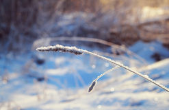 Dry grass under the snow Royalty Free Stock Photography
