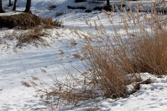 Dry grass is visible from under the snow in early spring. Royalty Free Stock Image