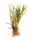 Dry grass on white Stock Images