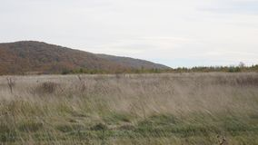 Dry grass in the wind against the background of the mountains.  stock footage