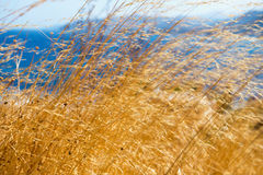 Dry grass in the wind Royalty Free Stock Photography