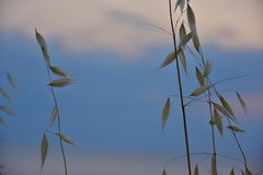 Dry grass in the windy weather Royalty Free Stock Photo