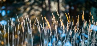 Dry grass in winter. Background at sunset light Stock Images