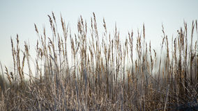 Dry grass in winter Stock Photo
