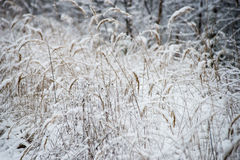Dry grass in winter Stock Image