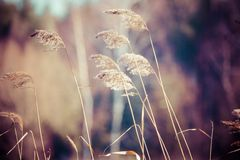 Dry grass in winter time, Poland. Royalty Free Stock Photography