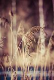 Dry grass in winter time, Poland. Royalty Free Stock Image